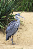 Grey heron. Stock Images