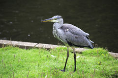 Grey heron. Royalty Free Stock Photography