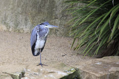 Grey heron. Royalty Free Stock Images