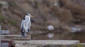 Grey Heron on One Leg on Concrete Platform stock image