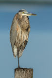 Grey heron on one leg Royalty Free Stock Photo