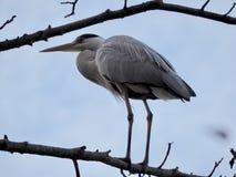 Grey Heron op de boom royalty-vrije stock foto's