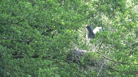 Grey Heron op een nest stock video