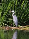Grey Heron op een riverbank Royalty-vrije Stock Fotografie