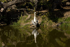 Grey heron open wings , Kruger national park, SOUTH AFRICA Royalty Free Stock Photo