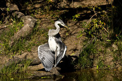 Grey heron opening wings in Kruger National Park, South Africa Royalty Free Stock Photography