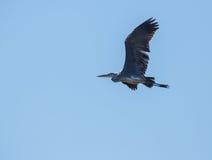 Grey Heron openwings Royalty Free Stock Image