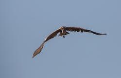 Grey Heron openwings Royalty Free Stock Photo