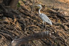 Grey Heron over branch Stock Photo