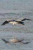 Grey Heron Over Water 1 Immagini Stock