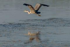 Grey Heron Over Water 2 Fotografia Stock