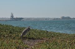 Grey heron on the beach. Grey heron on overgrown beach and aircraft carrier in background stock photography