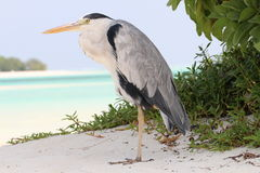Grey Heron på en strand, Maldiverna Royaltyfria Foton