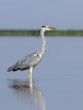 Grey Heron på grunt vatten av morgonsjön Royaltyfri Fotografi