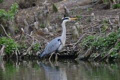 Grey Heron på lakesiden Arkivfoto