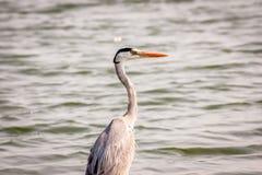 Grey Heron på sidan av en sjö Royaltyfri Foto