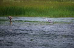 Grey Heron and Painted Stork Royalty Free Stock Photography
