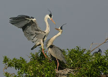 Grey heron pair building a nest Stock Image