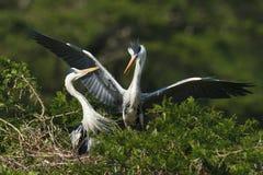Grey Heron pair Stock Photography