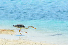 Grey heron patiently waiting and aiming for prey in the shallow. Water at the beach Stock Images