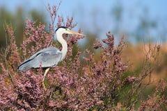 Grey heron perched Royalty Free Stock Photos