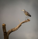 Grey Heron perched on  dying branch. (Ardeidae) Royalty Free Stock Photography