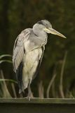 Grey heron perched on green wooden fence Royalty Free Stock Images