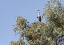 Grey Heron Perched i ett eukalyptusträd fotografering för bildbyråer
