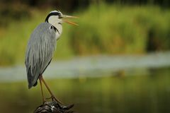 Grey Heron perched on log Royalty Free Stock Photos