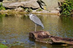 Grey Heron perched on a Rock Stock Images