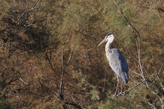Grey heron perched on a tamarisk branch Royalty Free Stock Images