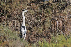 Grey heron perched on a tamarisk branch Royalty Free Stock Photo