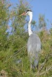 Grey heron perched in tree Stock Photo