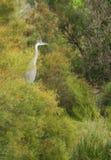 Grey Heron perching on tree Royalty Free Stock Photography