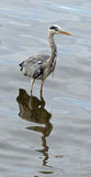 Grey heron. Photographed on the Thames in Richmond-on-Thames, London Stock Images