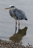 Grey heron. Photographed on the Thames in Richmond-on-Thames, London Royalty Free Stock Image