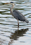 Grey heron. Photographed on the Thames in Richmond-on-Thames, London Royalty Free Stock Photos