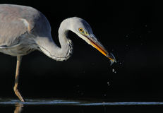 Grey Heron. The picture was taken form a hide in Hungary Royalty Free Stock Images