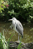 Grey heron by a pond Stock Photos