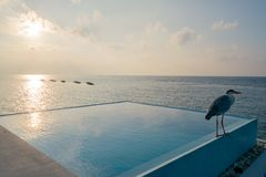 Grey heron on pool of water bungalow in maldives at sunset stock photo
