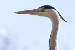 Grey Heron Portrait Royalty Free Stock Image