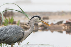Grey heron portrait Stock Photography