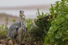 Grey heron portrait Stock Images