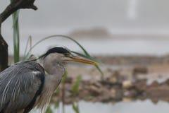 Grey heron portrait Stock Photo