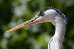 Grey Heron Portrait Stock Photos