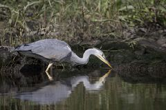 Grey heron portrait reflection fishing. Grey heron portrait, close up reflection fishing Stock Photography
