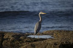 Grey heron portrait reflection fishing. Grey heron portrait, close up reflection fishing Stock Photos