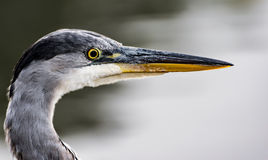 Grey Heron Portrait Royalty Free Stock Images