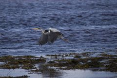 Grey heron portrait fishing nesting. Grey heron portrait, close up fishing nesting Stock Photography