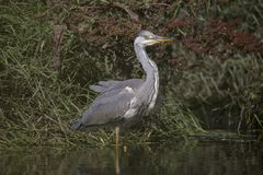 Grey heron portrait. Close up Royalty Free Stock Images